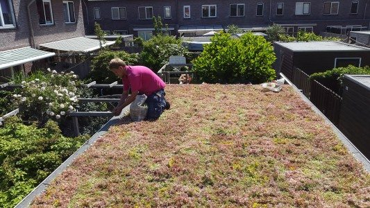 Installing a green roof in The Hague